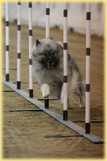 Lexi weaves the agility poles