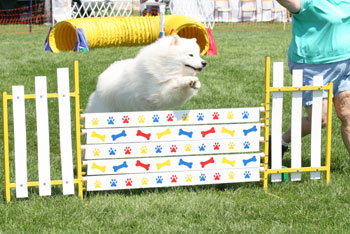 Trevor jumping in Agility competition